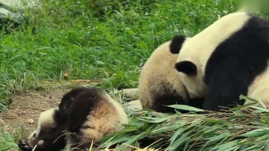大熊猫:海子麻麻,亲亲我的两个小宝贝