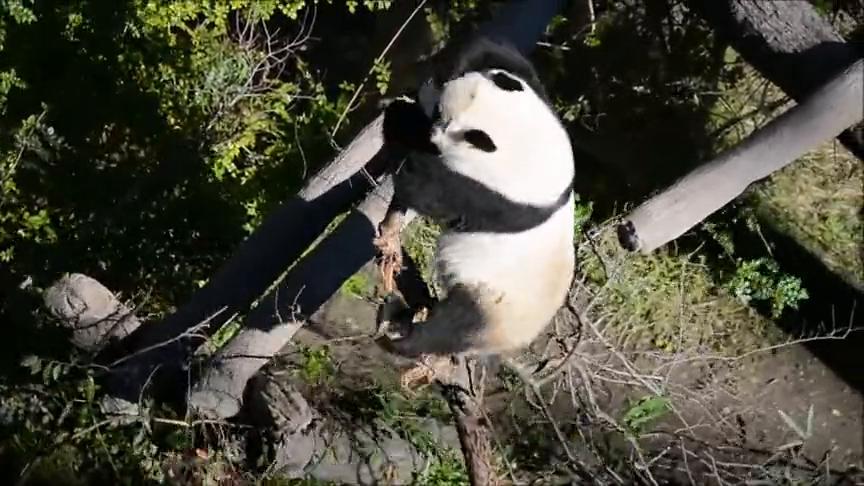 圣地亚哥动物园的熊猫太可怜了,在国外我们的国宝只能吃树干