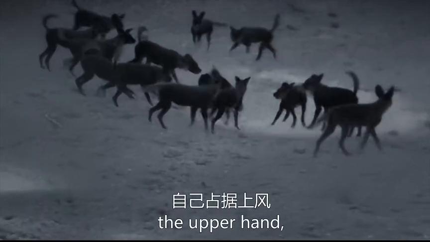 动物世界王朝:杂色狼幼崽被鬣狗分食,整个族群低头垂尾为它默哀