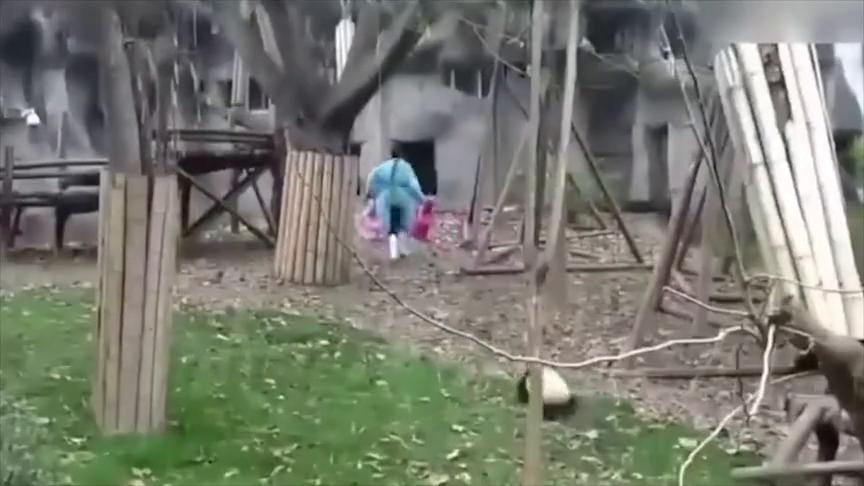 大熊猫:熊猫宝宝被饲养员收走小木马之后,气到满地打滚