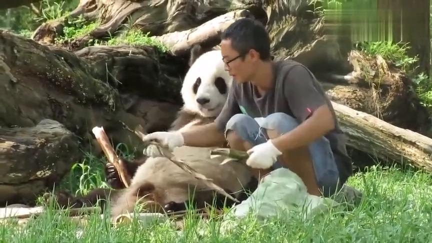 国宝大熊猫:杨家煤炭兄妹和饲养员的亲子日常!