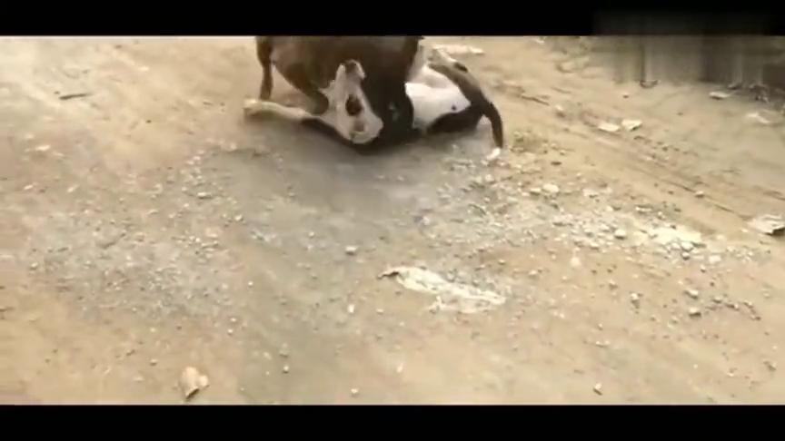 斗狗:比特虎皮第一次试口中亚串,虎皮疯狂进攻撕咬对手!