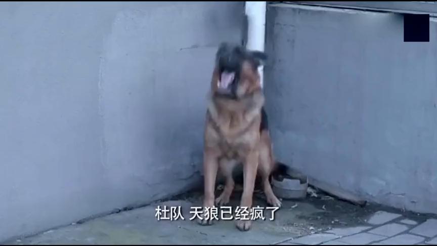 警犬目睹主人罹难后,从训练有素的猎犬,变成彻头彻尾的疯狗