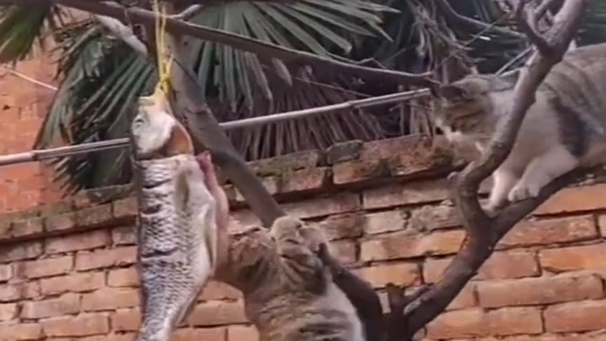 家里的两只猫想偷鱼干吃,没想到却产生了内讧,差点打起来了!