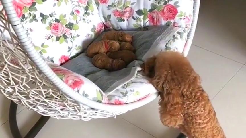 狗子:别打扰我我给狗宝宝唱摇篮曲呢!