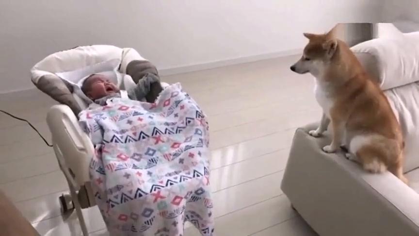小宝宝一直哭,柴犬狗狗舔舔手就把宝宝安慰了
