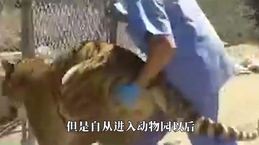 老虎冲出铁门,扑倒饲养员,谁料下一秒老虎悲剧了