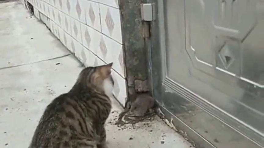 老鼠被猫逼在角落里,进退不得,吓的一直在叫!