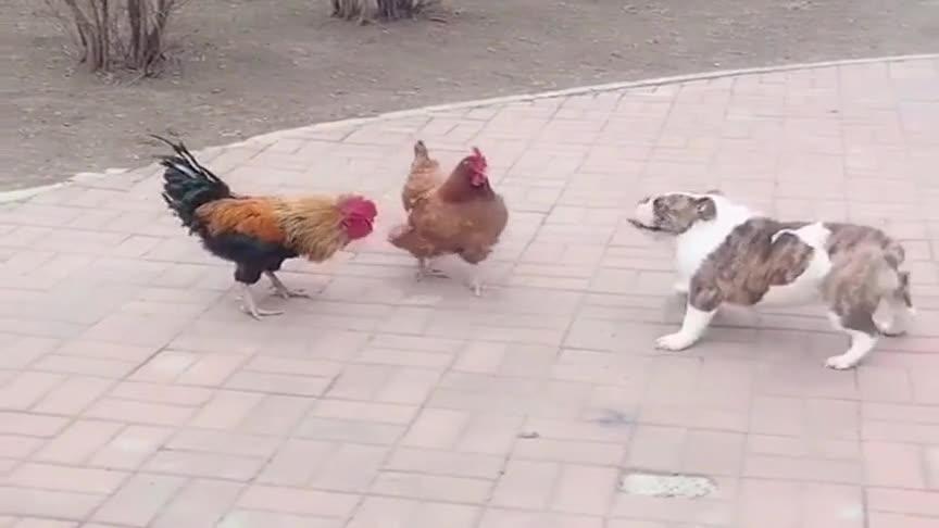 带小狗出来遛弯,没想到让两只公鸡盘了,太丢人了!