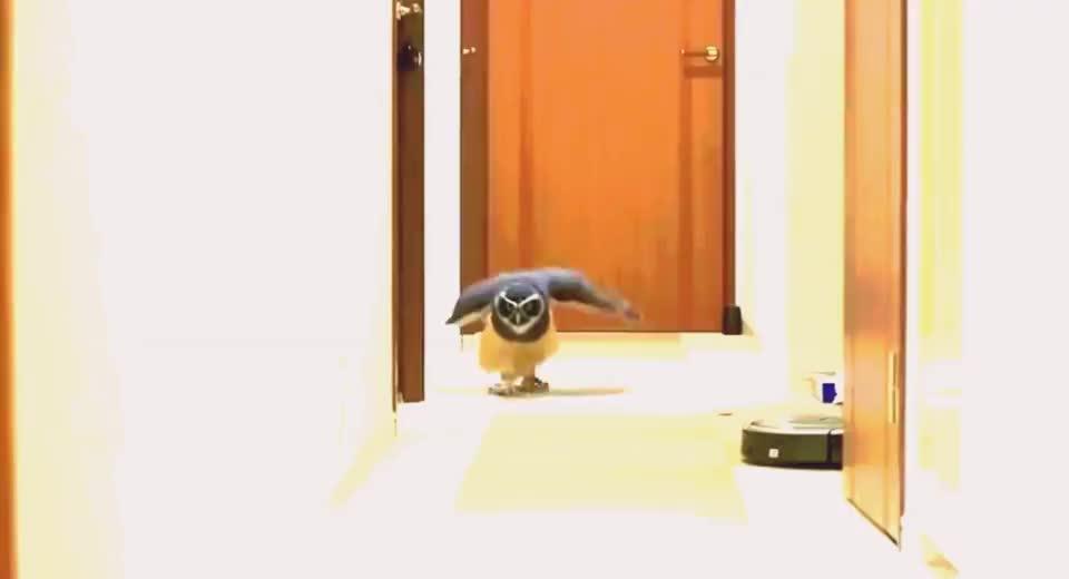 猫头鹰听到自家主人呼唤声,迈着小碎步匆匆赶来