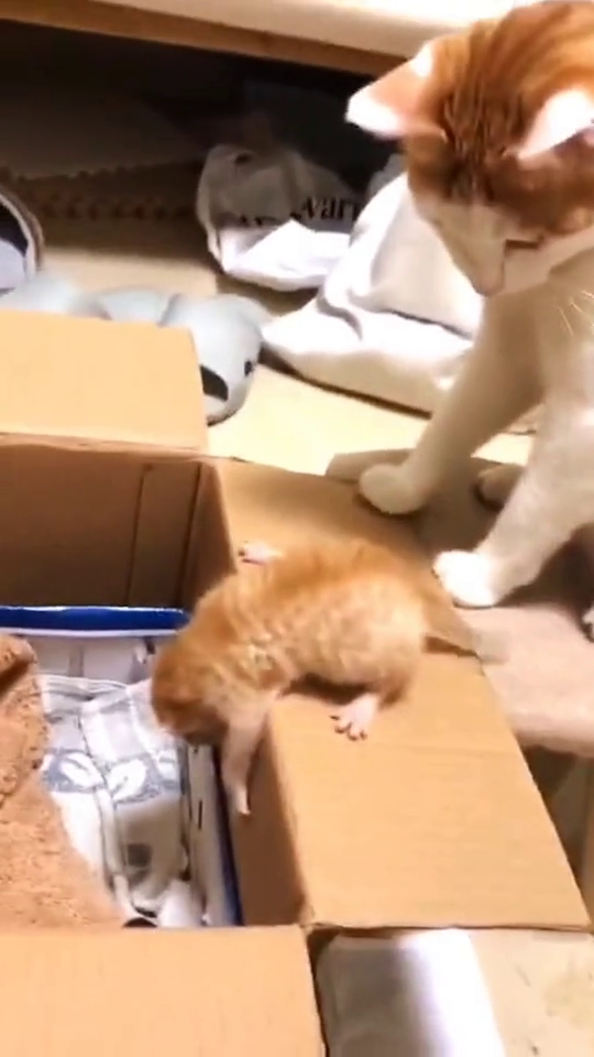 小猫咪不敢跳下纸箱,猫妈妈直接一脚把它踹下去,果然是亲妈