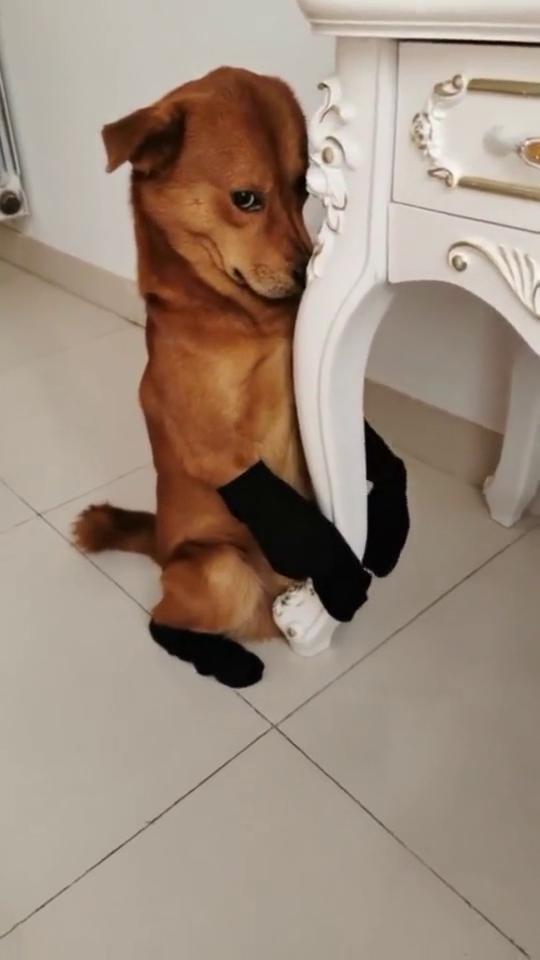 狗狗穿上袜子脚是不凉了,也不扎脚了但走路好像有点费劲