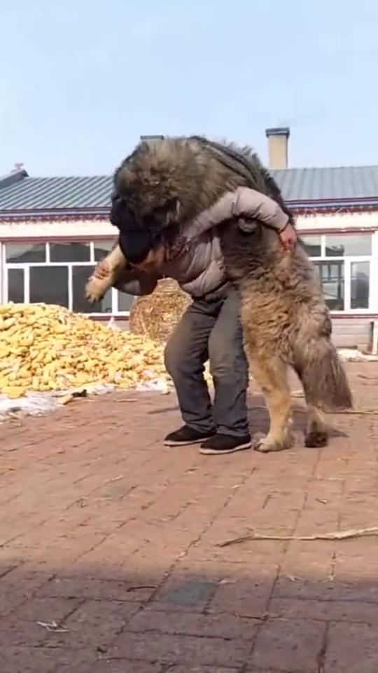 站起来比人还高,连百兽之王都不怕,这是什么品种的狗啊