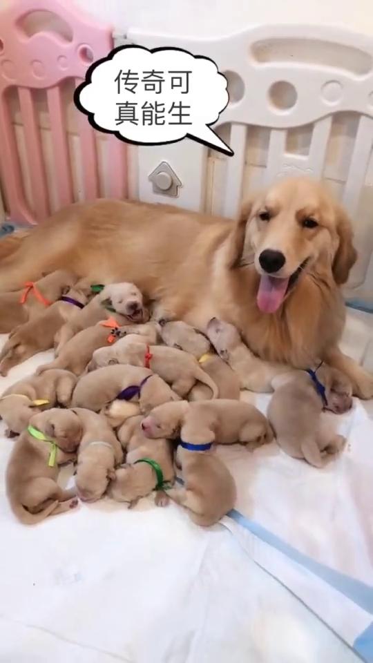 窝小金毛,都放在这个狗妈妈身边,大金毛笑的太开心了