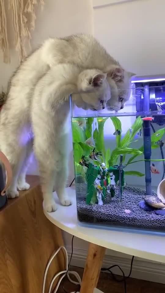 家里的猫为了吃鱼,要把鱼缸的水喝干,果然傻是遗传的!