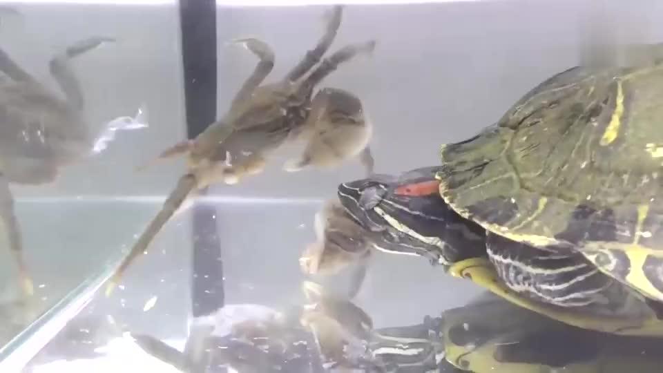 把一只螃蟹放在饿了10天的巴西龟面前场面十分惨烈