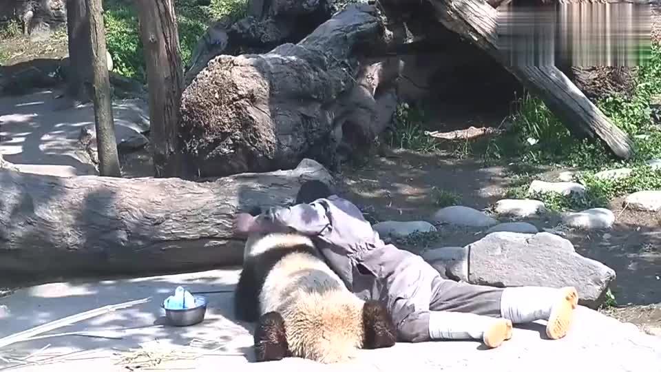 奶爸跟熊猫勾肩搭背地趴在地上真让人嫉妒镜头记录搞笑画面
