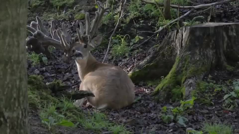 一头鹿的鹿角只长不脱,4年后被人发现,已是这副模样!