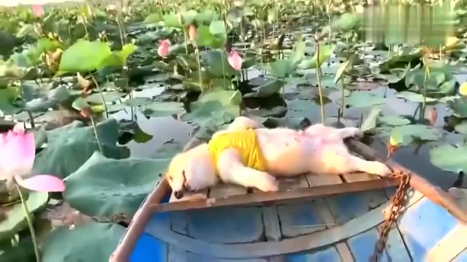 悠悠荡荡荷花池享受人生的柯基