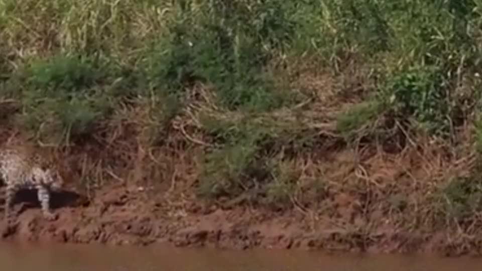 3只猎豹围捕鸵鸟,情急之下鸵鸟使出绝招,镜头拍下全过程