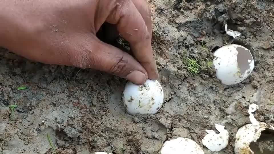 鸡蛋竟能孵出鱼苗?是鸡蛋出了轨,还是鱼儿劈了腿!