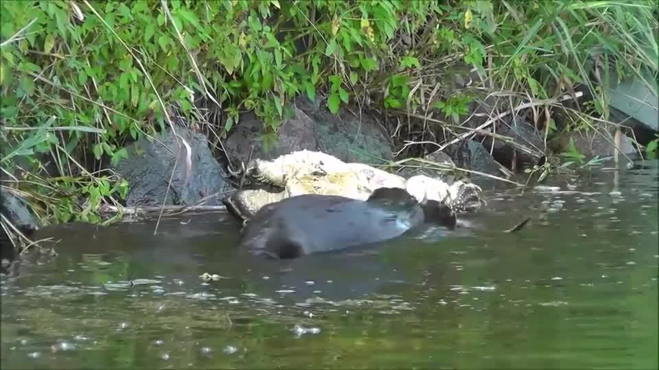 """被称为淡水动物""""王者"""",遇到水獭后竟无反击之力!镜头拍下全程"""