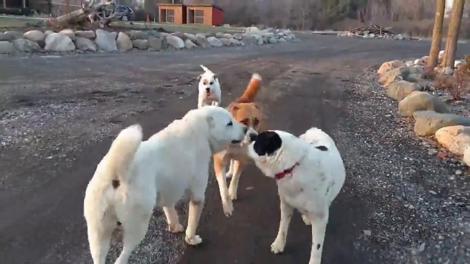 村里的几只狗在公路上约架,这不是什么好事