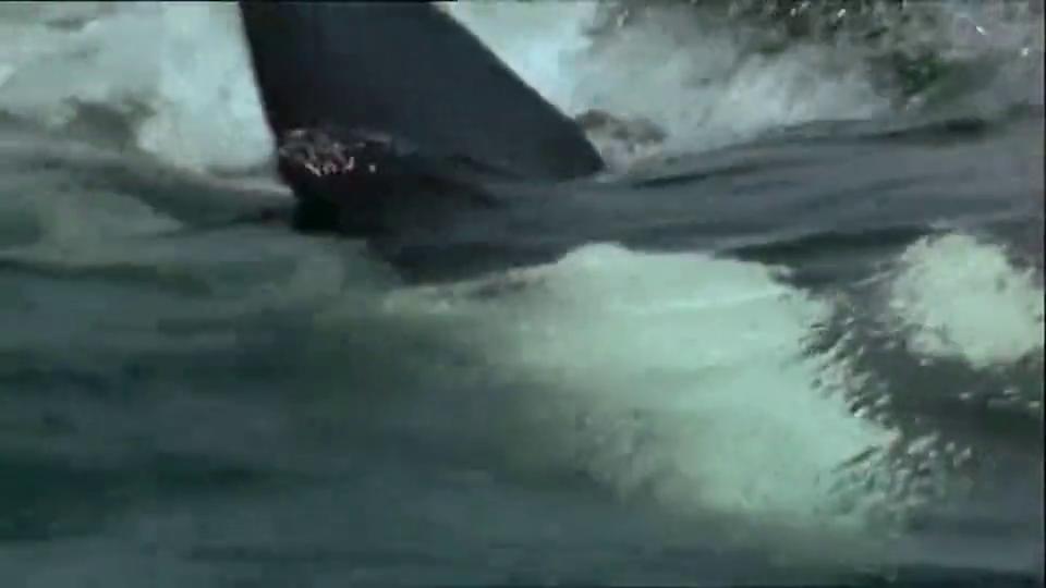 虎鲸:杀人鲸张开血盆大口,海豹被咬成碎片,海水瞬间染红