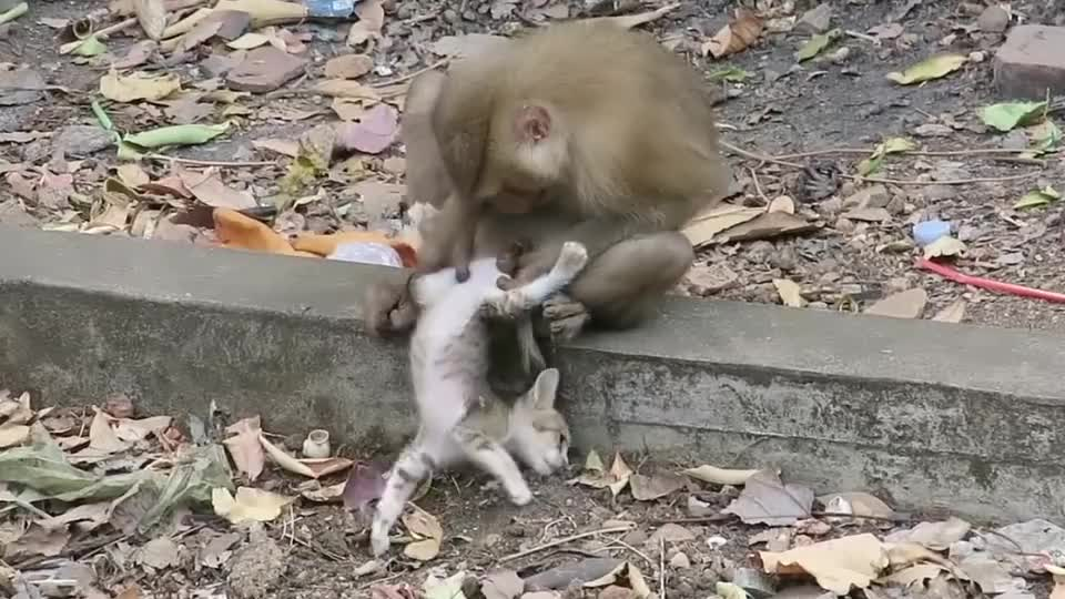 一群猴子正愁没事干,突然喵咪走了过来,下一刻猫悲剧了