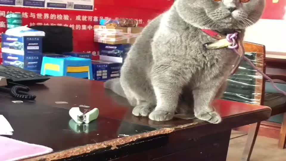 蓝猫能有什么坏心眼呢?