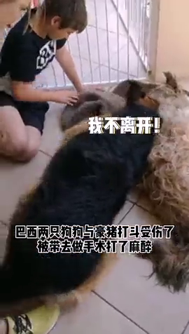 好兄弟!狗狗做手术麻醉昏迷,同伴以为去世哭泣不肯离开