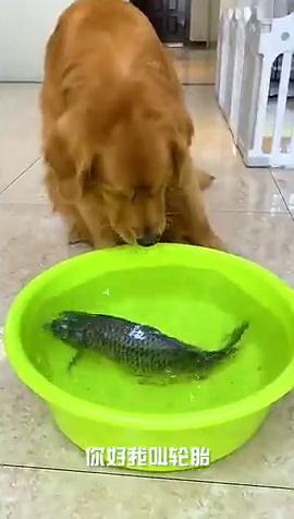 狗狗把鱼熏晕了。