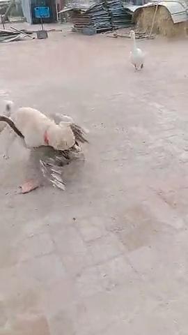 狗子用自身体重优势,压倒性赢了大鹅