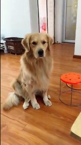 好听话的狗狗,主人没让吃绝对不抢,网友:我可能养了个假狗!