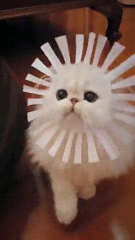 太阳花猫咪,有没有萌到你
