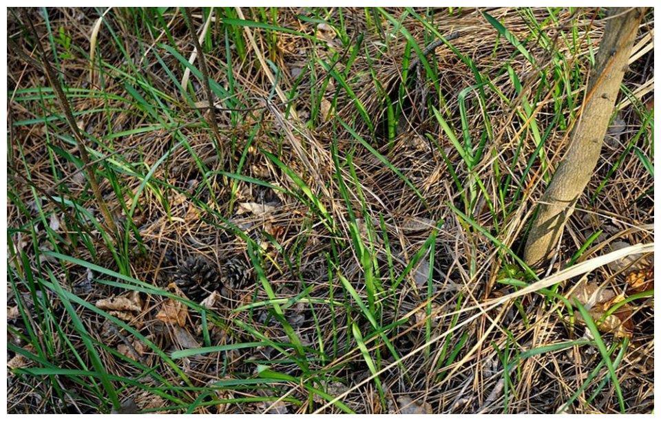 """埋土里的""""枣子"""",过去挖来当零食,如今30元一斤,春季不可错过"""