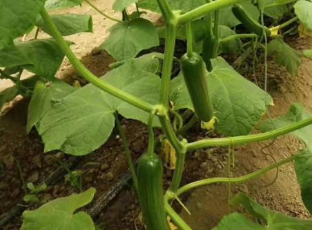 大棚蔬菜容易落花落果,大多是因为这三个原因,早知道早避开!