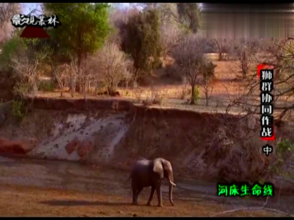 黑斑羚挑花了眼,漏网了,狮子成功围捕大疣猪