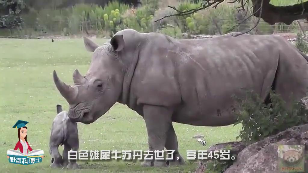 最后一只白犀牛,40人昼夜守护,结束了它5000万年的历史!
