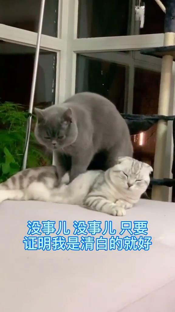 萌宠:戏瘾发作的小猫咪,看它们的表现,难不成电视剧看多了?