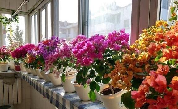 """""""三伏天""""买花,套袋子,猛冒芽子,三角梅枝繁叶茂。再换盆"""