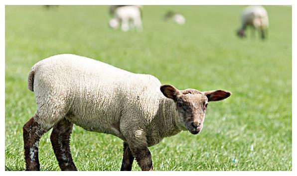 """再过几天,生肖羊一定要找到这个大贵人,下半年变""""发""""羊!"""