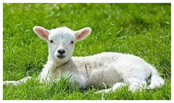 属羊人2021年,穿什么颜色鞋子最旺?生肖羊12月底开始转变
