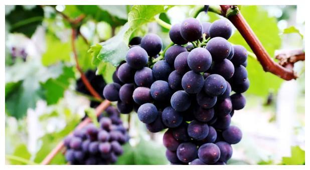 这里的葡萄、蓝莓熟啦,小伙伴们约起来!