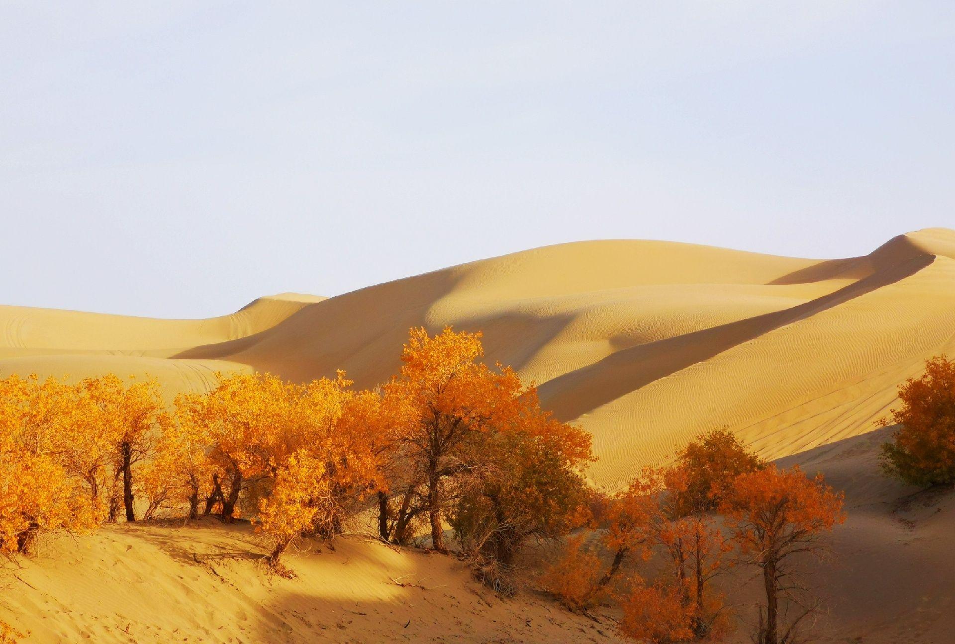 深秋,新疆尉犁县葫芦岛景区沙丘连绵起伏,金色胡杨林,醉人美景