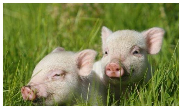 """你家有属猪的生肖吗?尤其是1971年的""""福气猪"""",做梦都能笑醒!"""