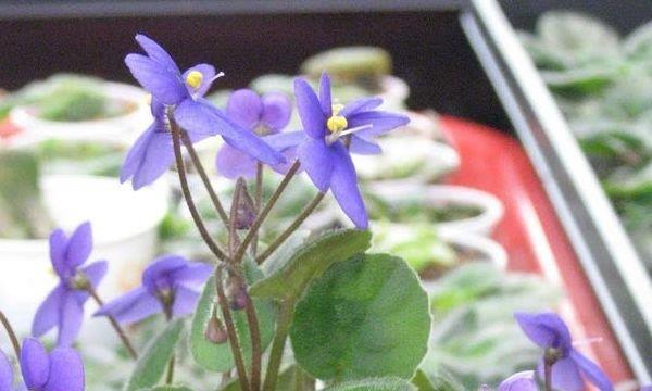 """新手养非洲紫罗兰,学会""""精耕细作"""",花开旺盛,想不开花都难"""
