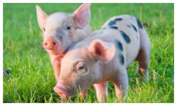 揭秘生肖猪的一生宿命:会历经3大劫难,躲过去就能大富大贵