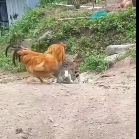 这一次喵星人输了,输给了大公鸡,果然是没有狗子厉害!