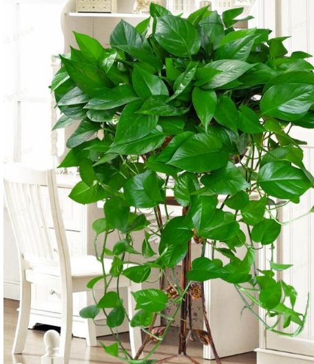 种花养家里,长势快,养护简单,还能够净化空气